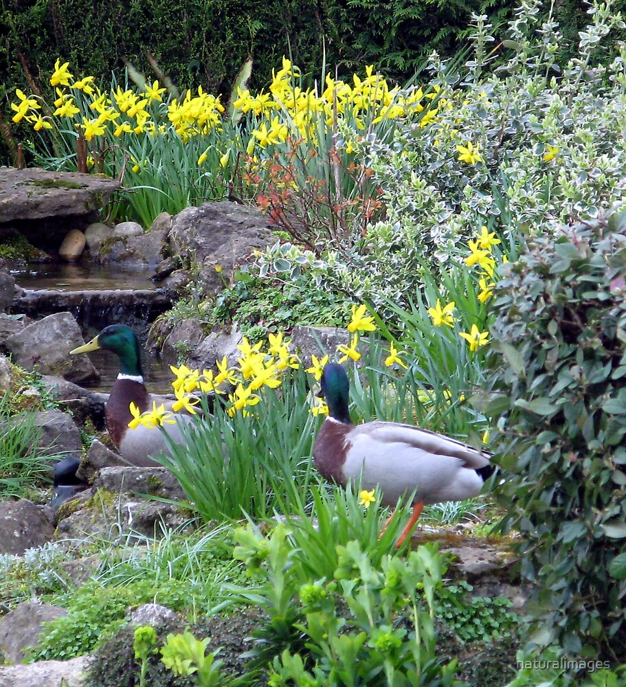 ducks and daffs by naturalimages