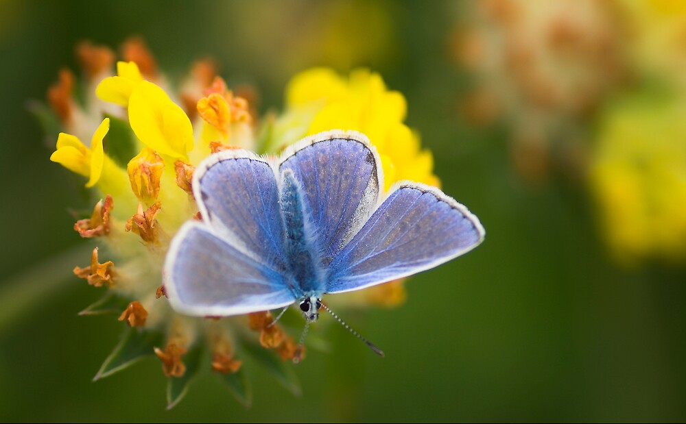 Common Blue Butterfly Common Blue Butterfly (Polyommatus icarus) University of Limerick by Gerard  Horan