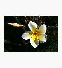 Plumeria Photographic Print