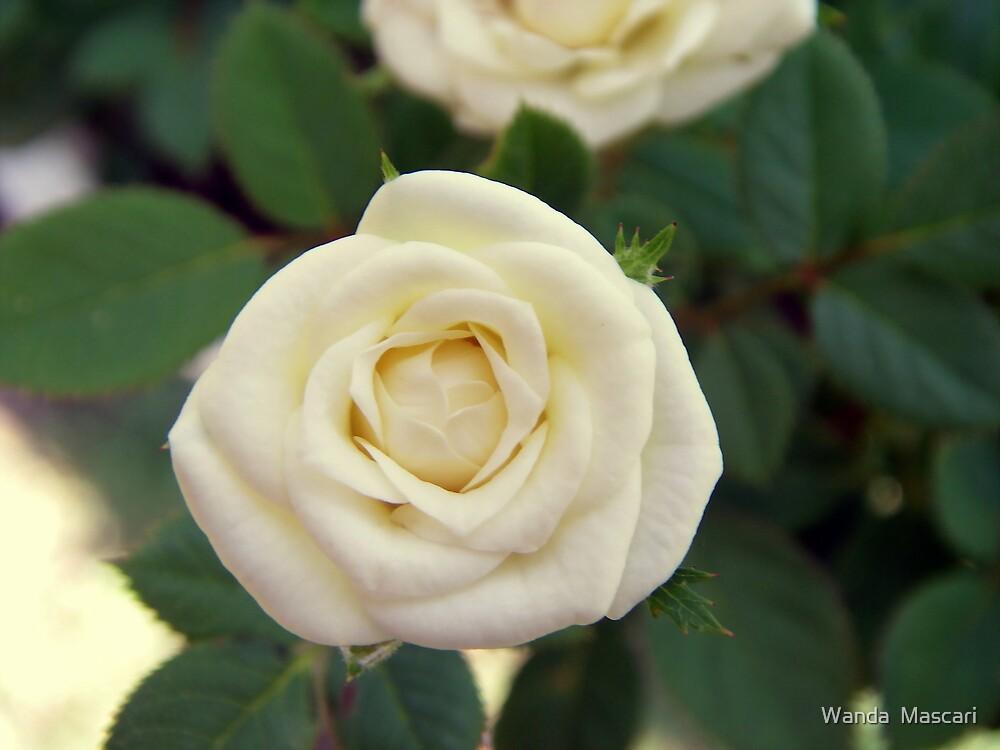 Small White Rose by Wanda  Mascari