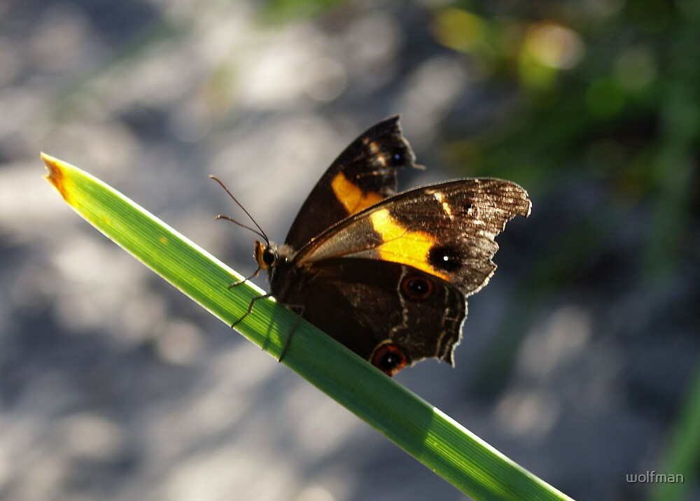 butterfly by wolfman
