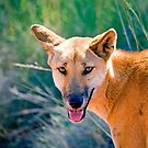 Dingo by Richard  Windeyer