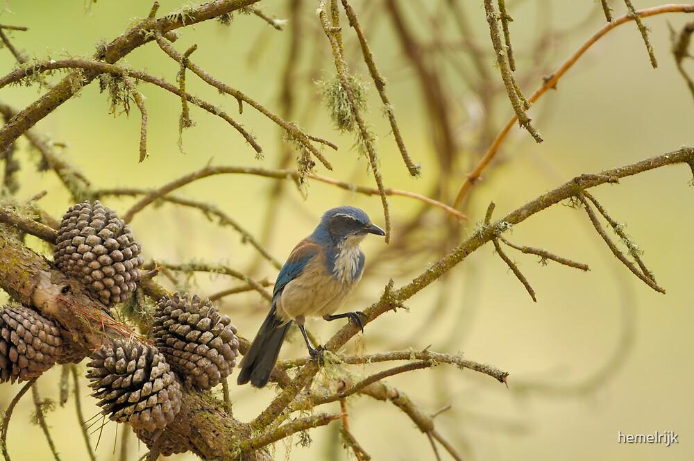 Blue Jay by hemelrijk