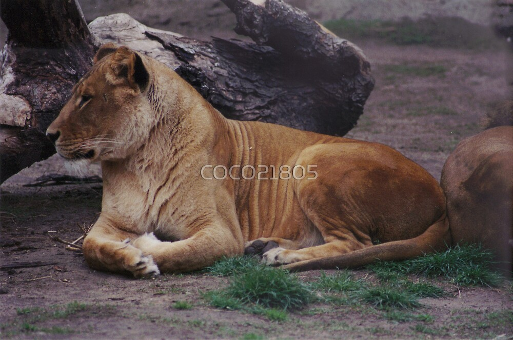 FEMALE LION by COCO21805