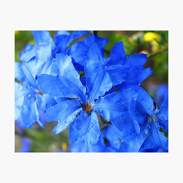 Blue Leschenaultia  Photographic Print