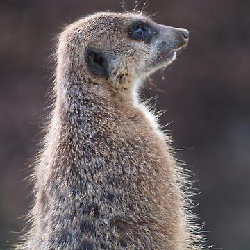 Meerkat by AlanGNW
