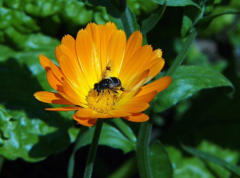 Fly on Marigold by BizziLizzy