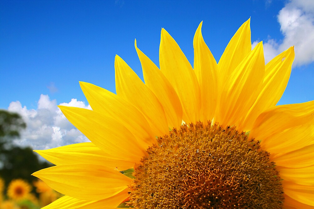 Shine Sunflower Shine by Anthony Thomas