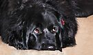 Abby (Newfoundland Dog) by Laurie Minor