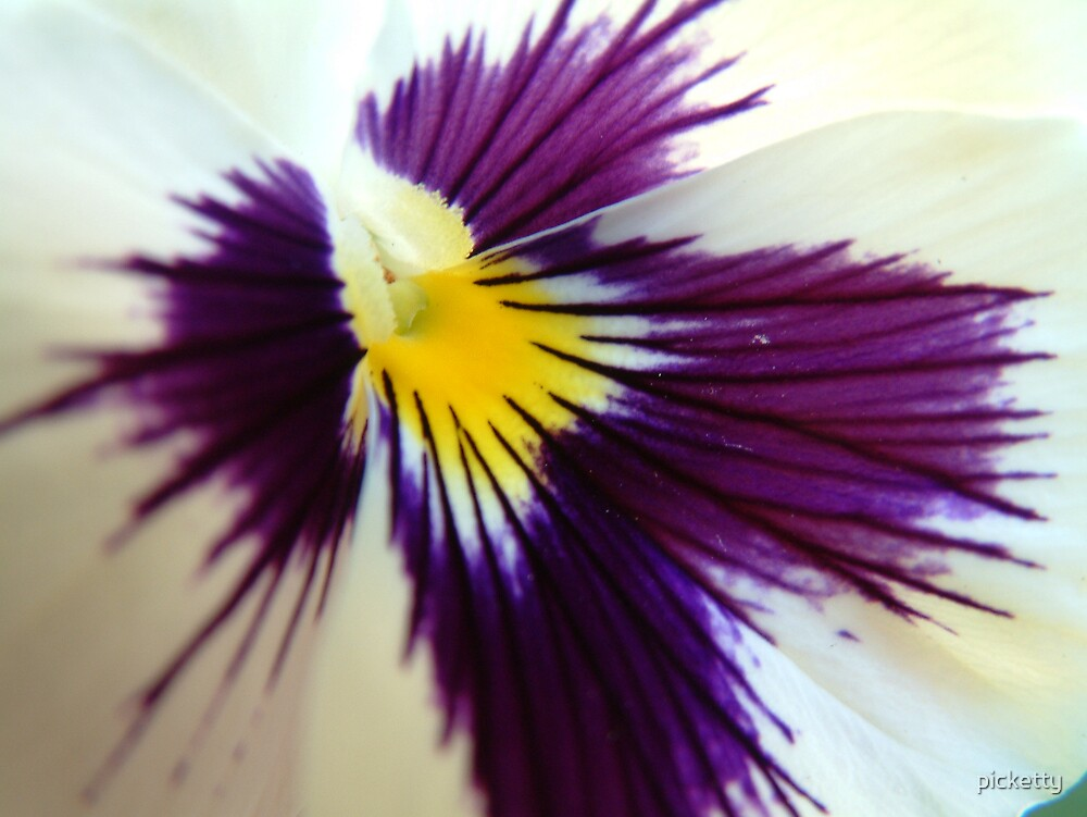 pansy by picketty