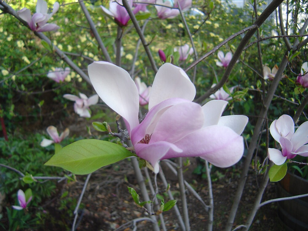 Magic Magnolias by Jerry Stewart