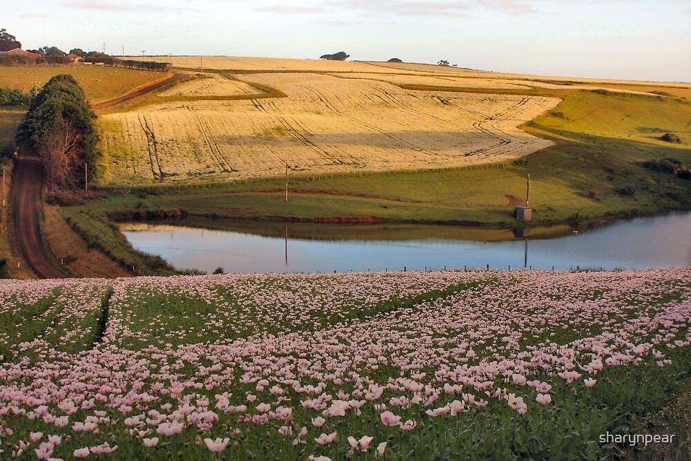 Poppy Field in Wynyard, Tasmania by sharynpear
