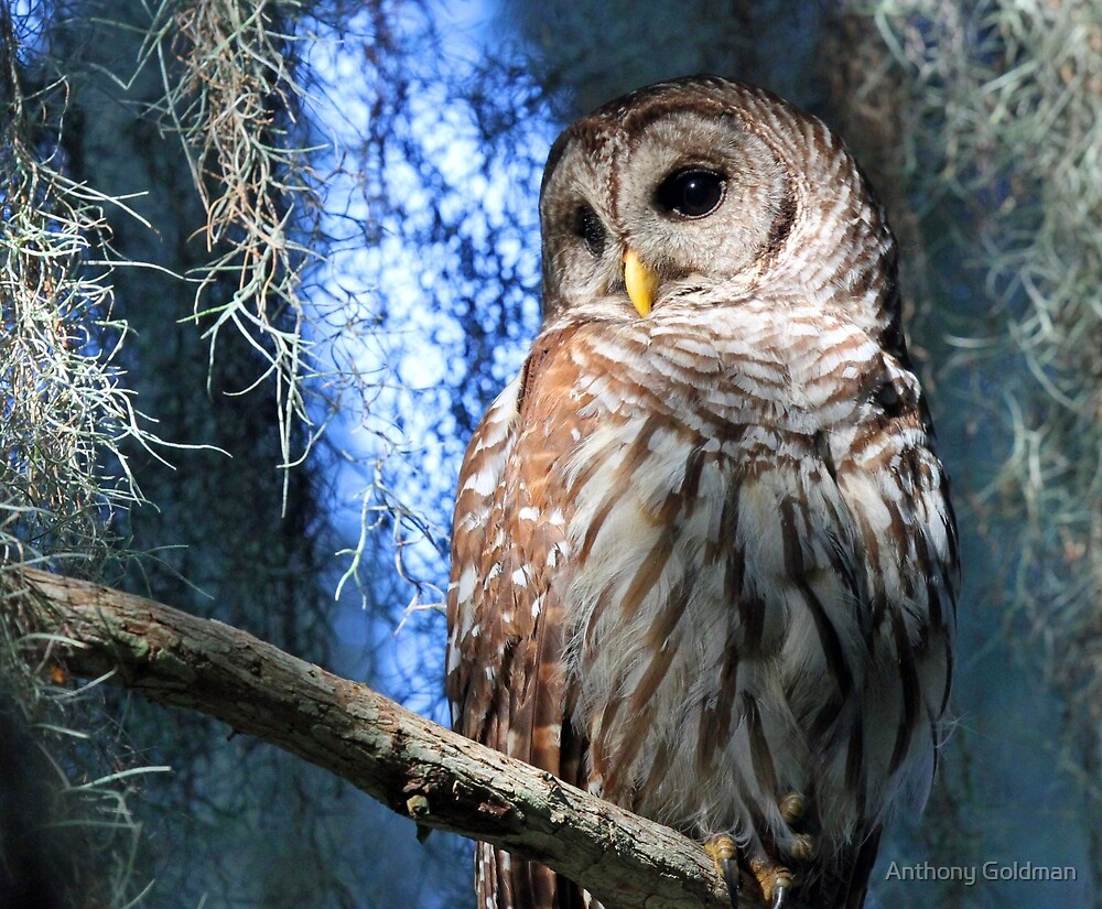 A Florida Barred Owl by Anthony Goldman