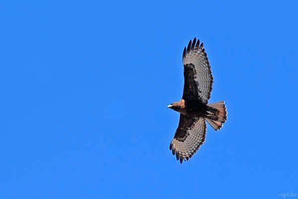 Dark Phased Redtail Hawk by raptrlvr