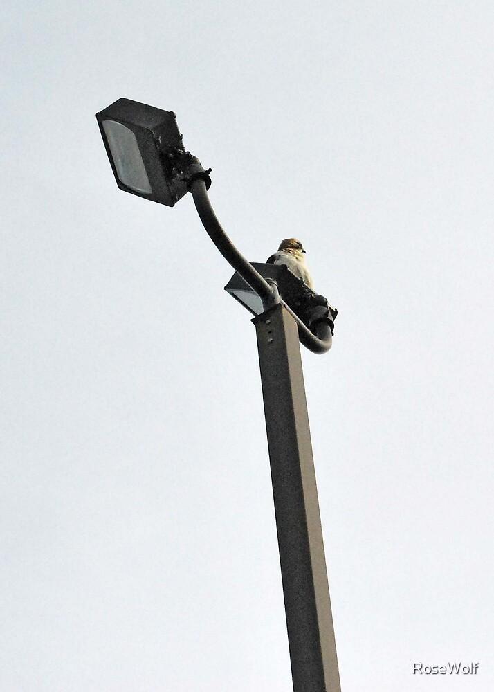 Hawk 1 by RoseWolf