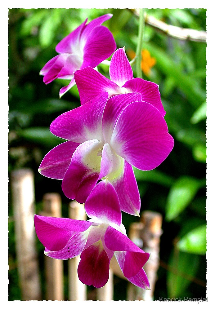 Orchid-1 by Kenrick Rampial