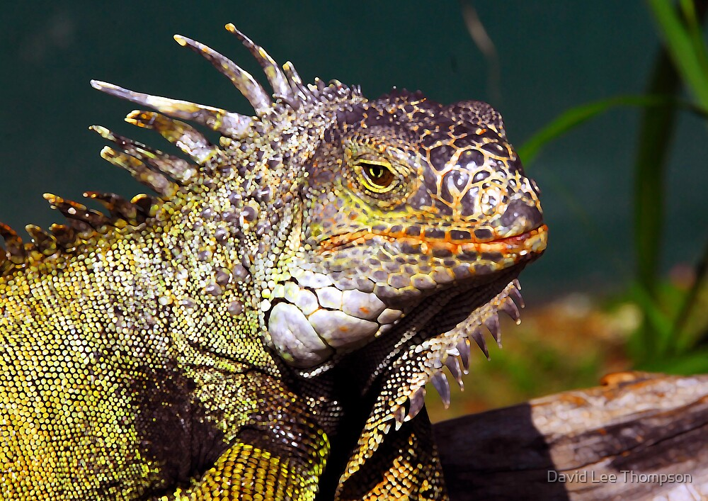 """Green Iguana"" by David Lee Thompson"