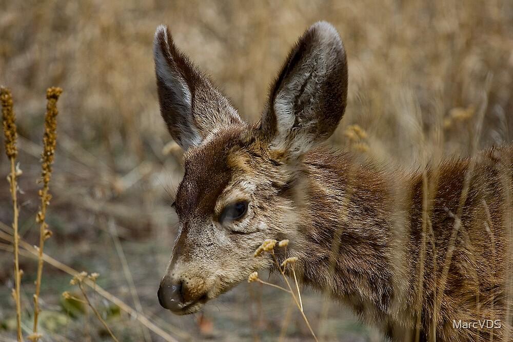 Mule Deer by MarcVDS