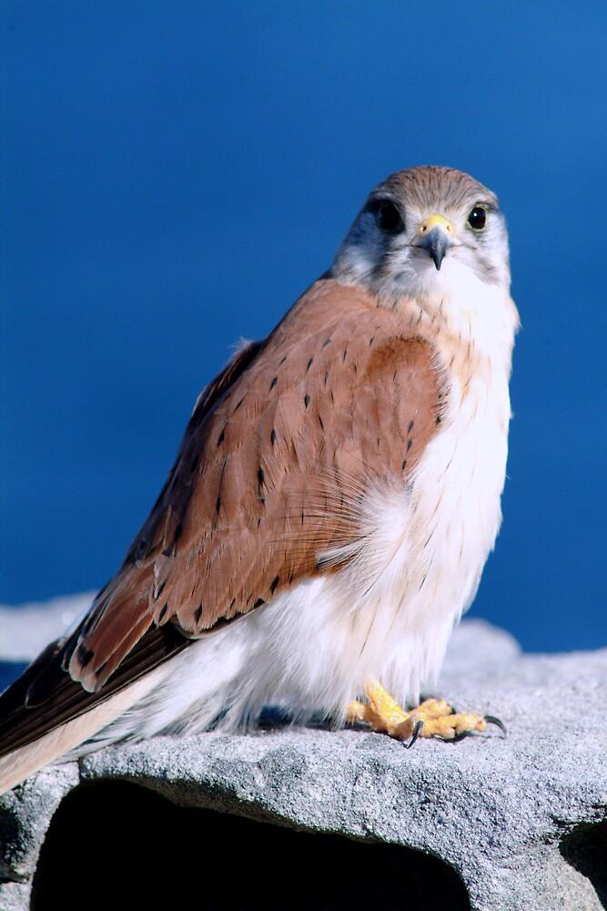 Falcon by brad0928