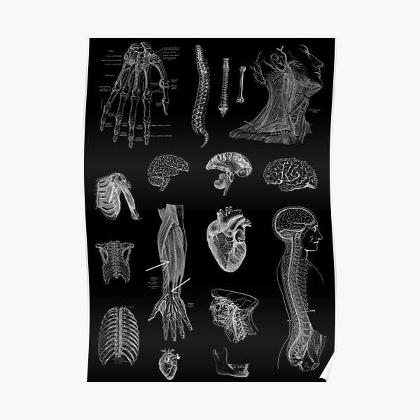 Vintage Anatomy Print  Poster