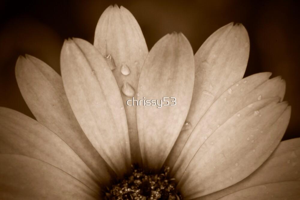 Daisy by chrissy53