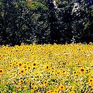 Field of Sunshine by Grinch/R. Pross