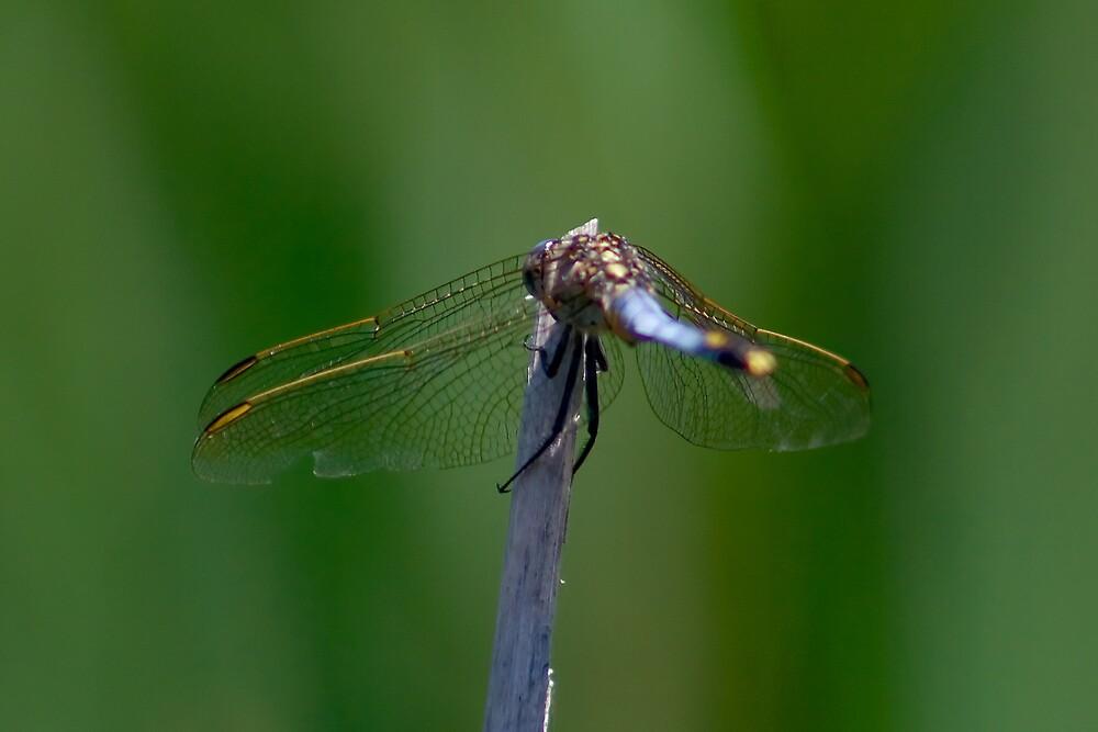 Blue Skimmer by Yorrik