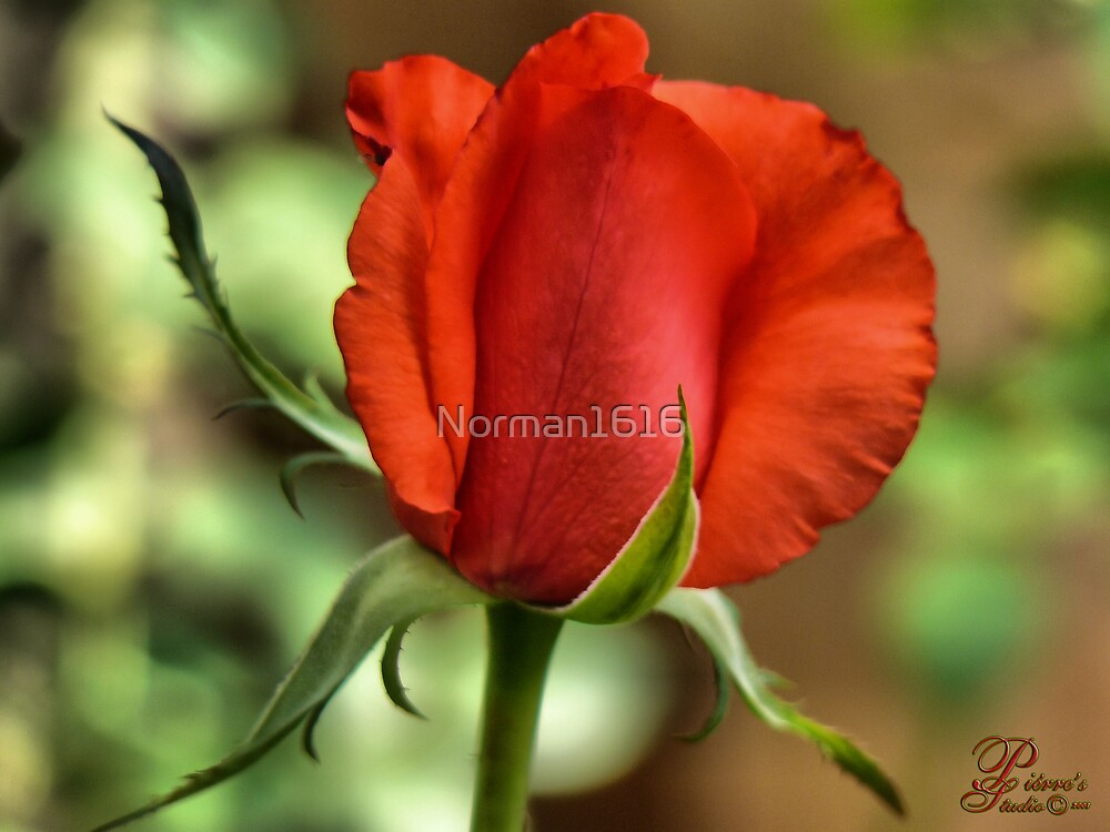 Red Rose by Norman1616