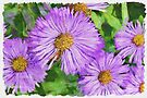 Asters - watercolour by PhotosByHealy