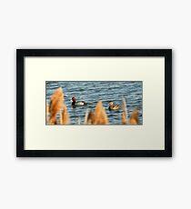 Redhead Drake & Hen Framed Print