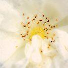 White Rose by Karen  Betts