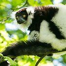 Black-and-white Ruffed Lemur by Dominika Aniola