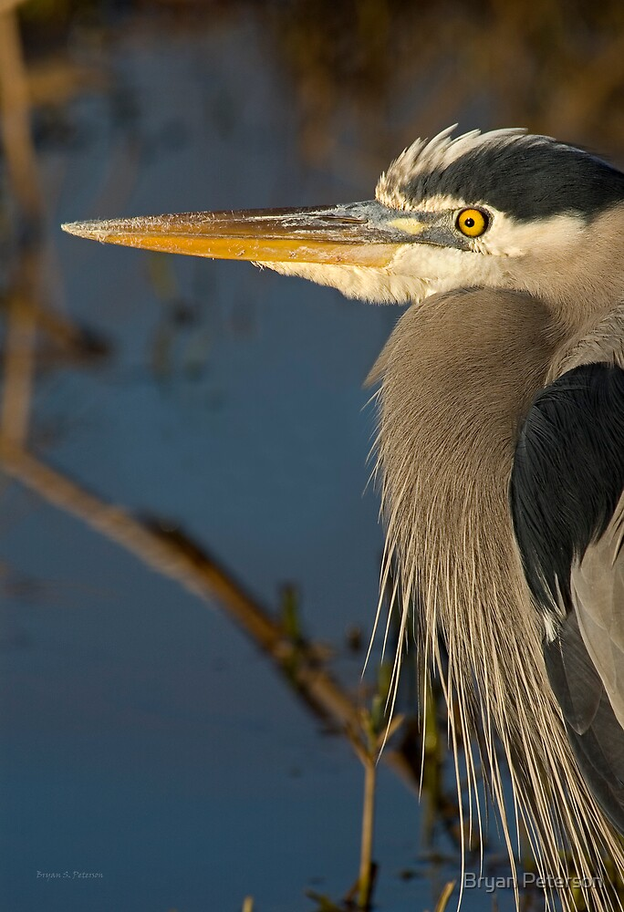 Profile of a Great Blue Heron by Bryan Peterson