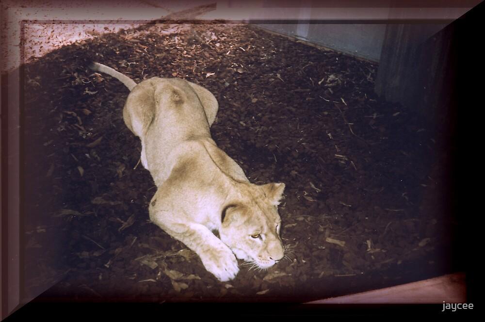 Lioness hunting by jaycee