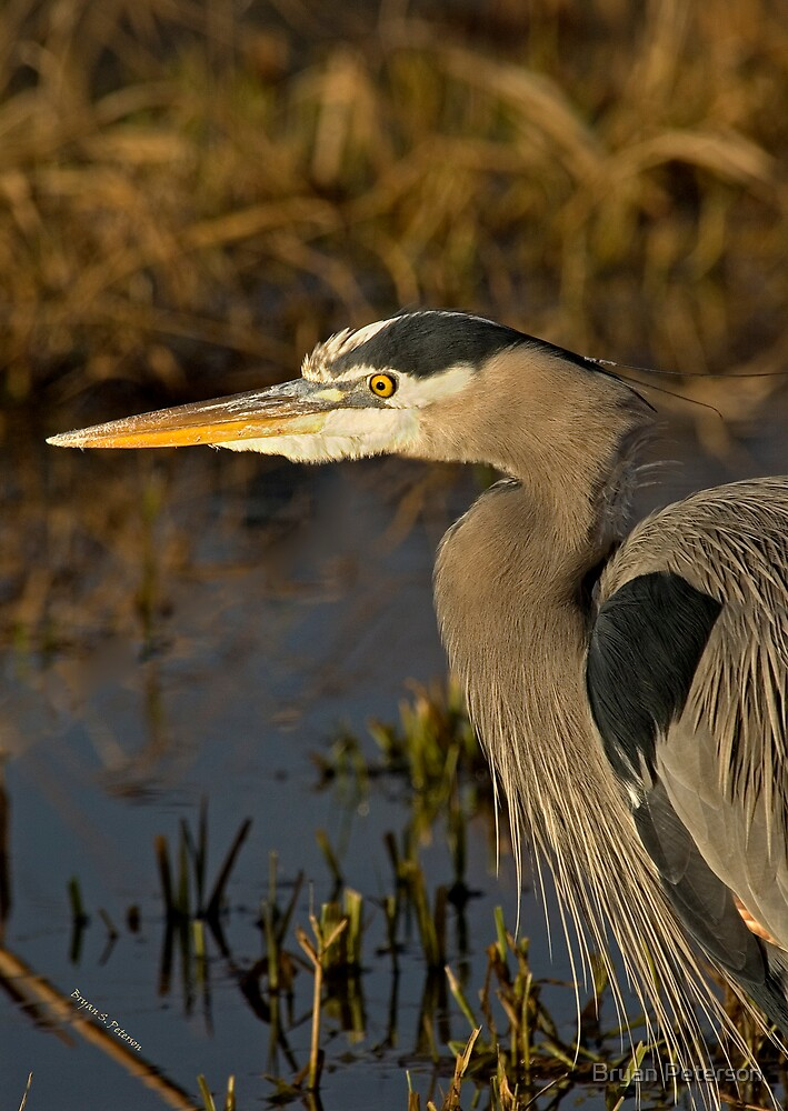 Great Blue by Bryan Peterson