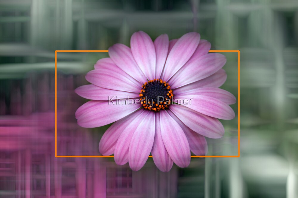 African Daisy by Kimberly Palmer