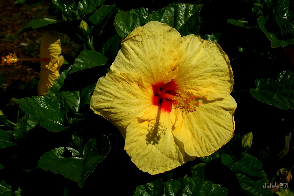 Hibiscus by dale427