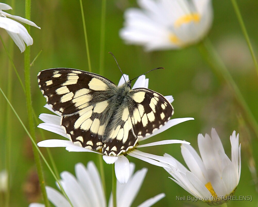 Marbled White Butterfly by Neil Bygrave (NATURELENS)