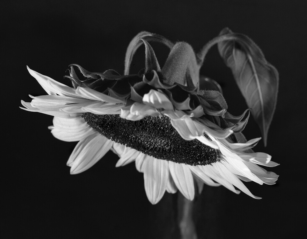 Leaning Sunflower by halnormank