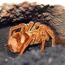 Big Orange Spider by kittymomo