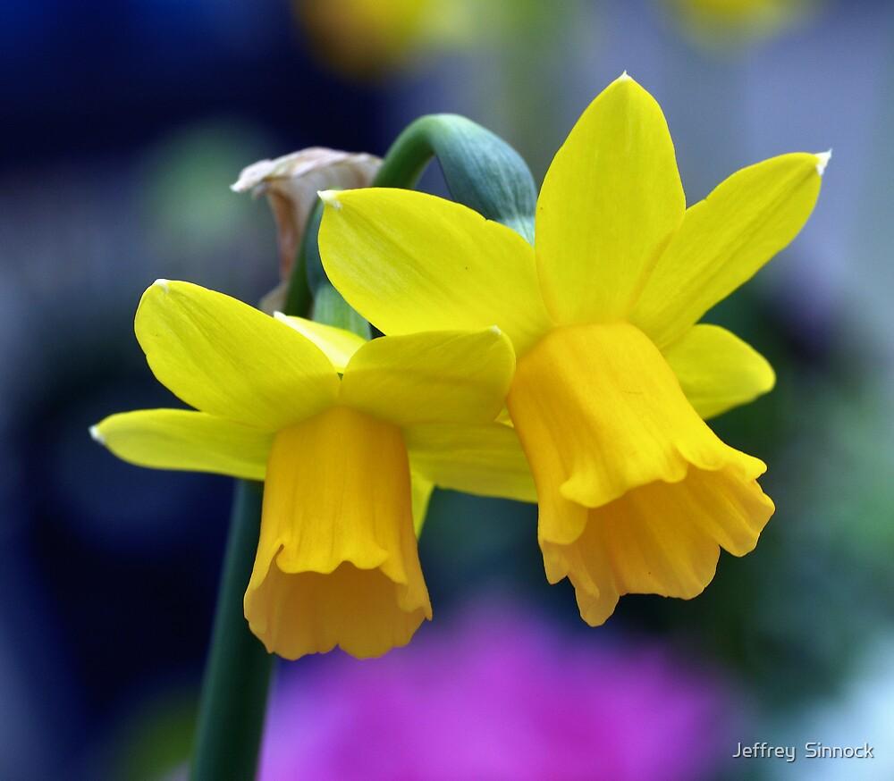Two lone Daffodil's by Jeffrey  Sinnock