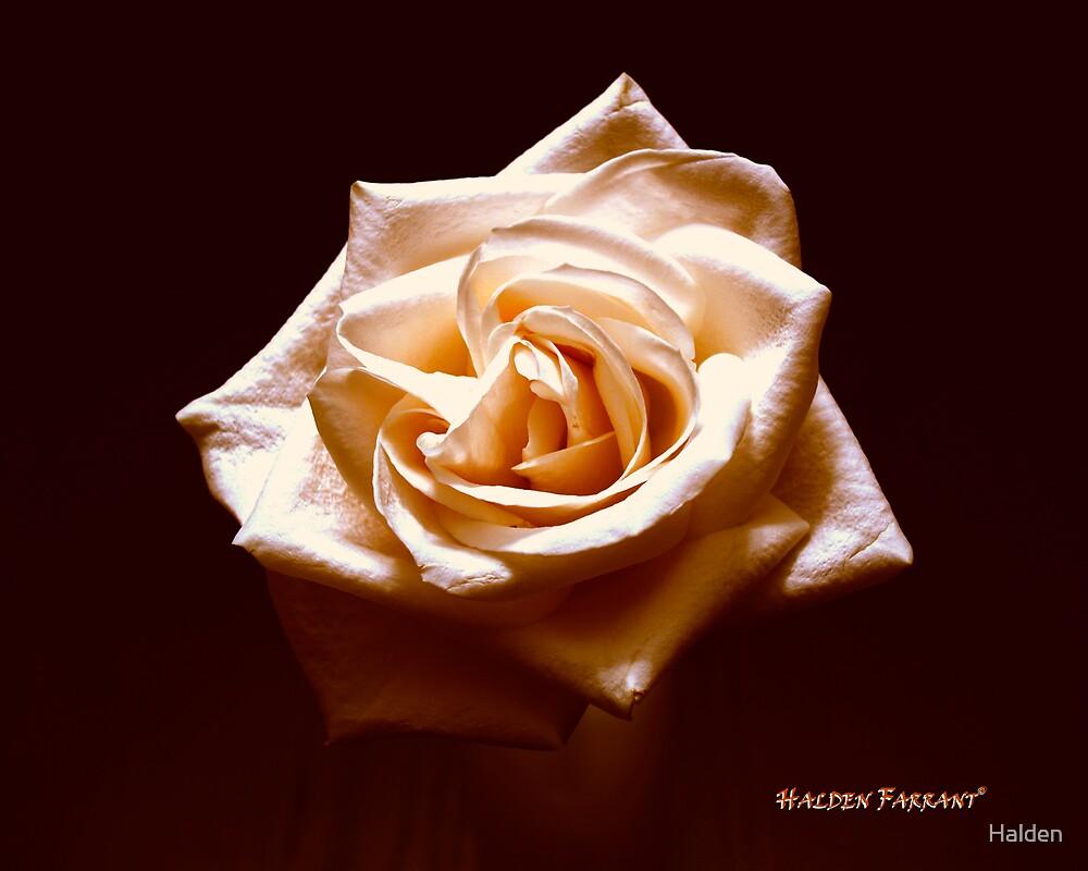 Lone Rose by Halden