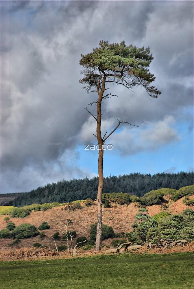 singlar tree by zacco