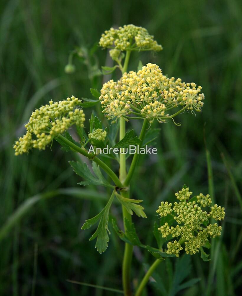 Yellow pasture weed by AndrewBlake
