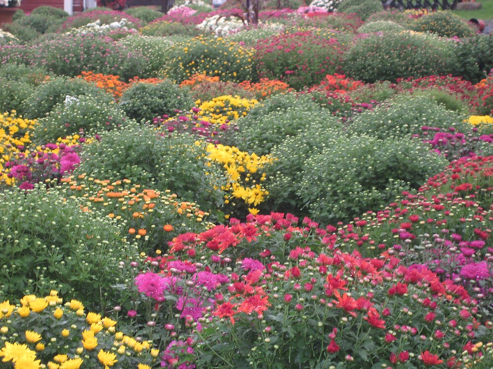 Sea of Mums by Maddys