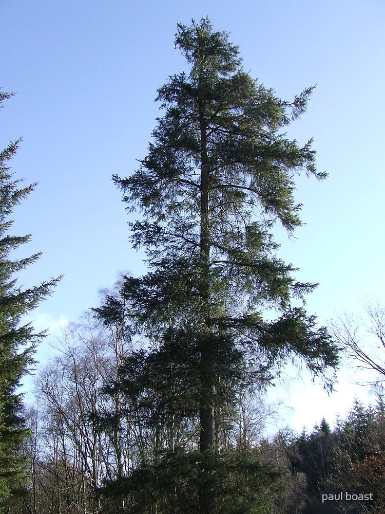 Big Fir Tree by paul boast