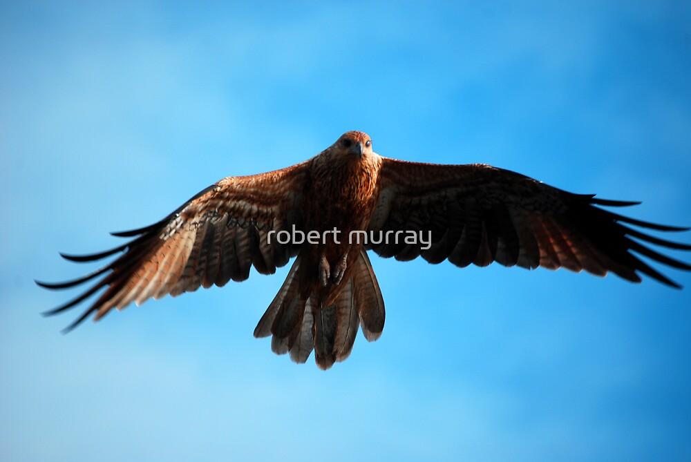 Brahminy Kite by robert murray