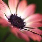 Beautiful African Daisy Zion Red Flower by Joy Watson