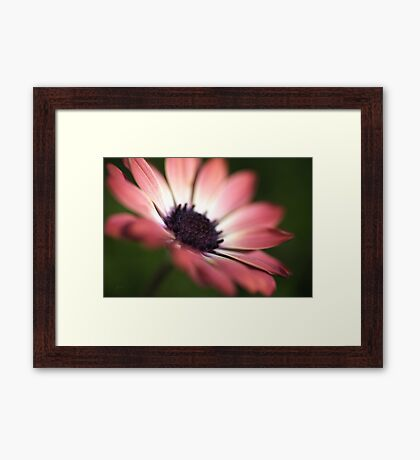 Beautiful African Daisy Zion Red Flower Framed Print