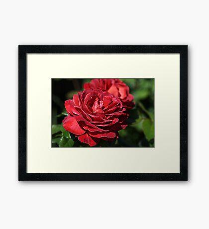 Wonderfully Red Roses Framed Print